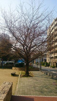 cherry blossom 24 mar