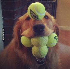 Talent! Golden retriever who is an over achiever!