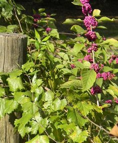 "Cinnamon live plant /""1 live plant/"" cinnamomum zeylanicum real variety with pot"