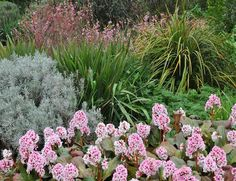 The Beth Chatto Gardens - Gravel Garden - Bergenia