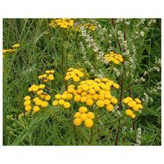 Vratič obyčajný - Tanacetum vulgare - predaj semien - 0,4 g