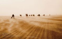 camels by SultanAlzahrani. Please Like http://fb.me/go4photos and Follow @go4fotos Thank You. :-)