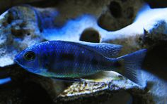 Malawi Cichlids, African Cichlids, Lake Tanganyika, Tropical Fish, Aquarium Fish, Betta, Peacock, Exotic Fish, Betta Fish