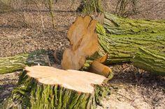 Comment abattre un arbre? Tout ce qu'il faut savoir étape par étape pour l'abattage d'un arbre. De nombreux conseils pour bien les couper