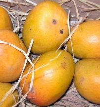 "Mangos on a tea review blog? Yep! Sororiteasisters review ""Cold Brew Mango Green Tea from Culinary Teas"""