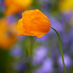 Orange poppy - Mairi's Gallery  Lumix G Experience