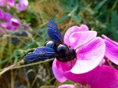 http://fineartamerica.com/featured/carpenter-bee-on-pink-blossom-katja-sauer.html