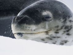 John Eastcott and Yva Momatiuk Leopard seals, named for their spotted coats, are one of the primary predators of Antarctica.