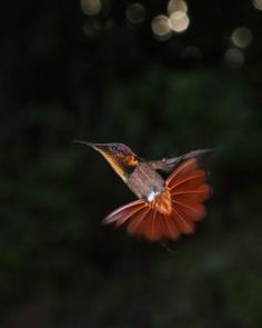Gallery of Ruby-topaz Hummingbird (Chrysolampis mosquitus) | the Internet Bird Collection (IBC) | HBW Alive