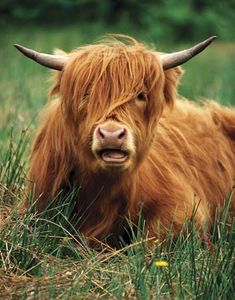 I've seen them in Scotland. Known as Highland Cows, the Scottish call them Heilan Coos. Scottish Highland Cow, Highland Cattle, Scottish Highlands, Highland Games, Highlands Scotland, Animals For Kids, Farm Animals, Funny Animals, Cute Animals