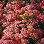 Zone 5 Perennial Gardening Zones Planting Rose Nursery Achillea