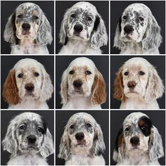 The English Setter is quite friendly and gentle but they demand regular interaction with people. Perro Cocker Spaniel, English Setter Puppies, Animals And Pets, Cute Animals, Puppy Facts, Dog Information, Crazy Dog, Beautiful Dogs, Dog Mom