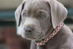 Silver Labrador Pup