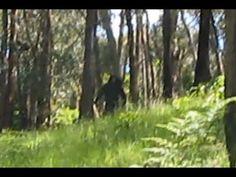 Yowie' (Bigfoot) Caught On Film?   BigfootBlogger.Com
