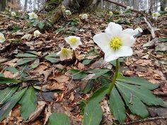 Die Schneerose, auch Christrose genannt, blüht oft schon ab Februar.