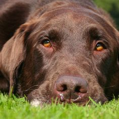 Eliminate Over 30+ Common Behavioral Labrador Retriever Issues - labrador #labrador #labradorretriever
