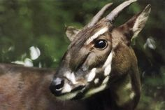 This photo taken in 1993 and released by WWF shows a Saola in Vietnam when it was captured. It was one of two Saola captured alive in central Vietnam, but both died months later in captivity. Big Animals, Rare Animals, Exotic Animals, Unusual Animals, Cutest Animals, Beautiful Creatures, Animals Beautiful, Habitat Destruction, Endangered Species
