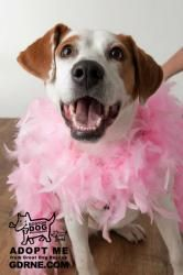 Sandy - Beautiful Smile!!! is an adoptable Treeing Walker Coonhound Dog in Andover, MA. Hi I'm Sandy and I'm a ~2 year old, ~70 lb, Treeing Walker Coonhound mix. I am a training school graduate throug...