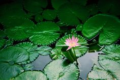 """""""There are no limitations. Just dreams to be fulfilled."""" ᏦᖇᎯᏰᎲ ᎿᏂᎯᎲlᎯᏁᎴ Something about Lily pads are so calming. I haven't seen them for years but after seeing them here I've added a huge pond filled with lily pads to my future dream house.  by littlesparkofwanderlust"""