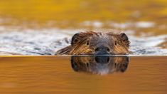 Don Johnston/age fotostock) | North American beaver in Denali National Park, Alaska (© Eastcott ...
