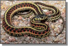 Common Garter Snake - All harmless Garter snakes have the yellowish lines down their backs.  So cute!
