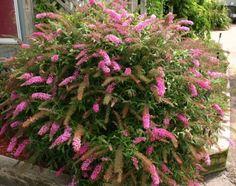 Butterfly Bush Pink