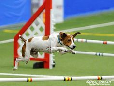 Rat Terriers can excel at Agility!