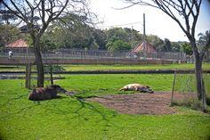 Antas no Zoológico de Curitiba - Álbum - Prefeitura de Curitiba. Foto: Gabriel Rosa/SMCS