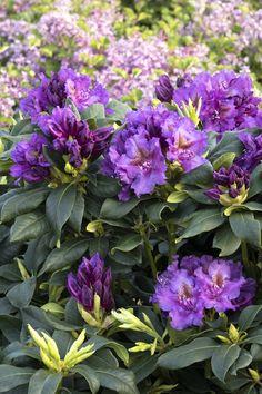Spring Flowers, Purple Flowers, Monrovia Nursery, Easy To Grow Bulbs, Monrovia Plants, Plant Catalogs, Rose Trees, Rain Garden, Sun And Water