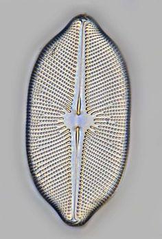 index-diatom-3