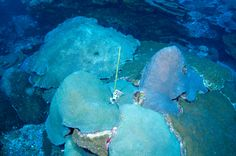 Image result for coral tags research