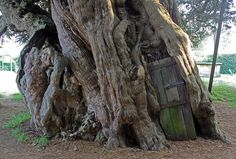 Crowhurst Yew tree with door leading into the hollow. Located in St. Georges' church cemetery, in Crowhurst, no one knows who put the door there or why. The tree is believe to be anywhere from 1500 to 4000 years old. The ancient tree is listed as one of the fifty greatest trees in Britain.