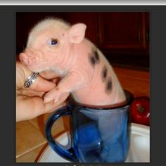 Micro Pig... I want one!