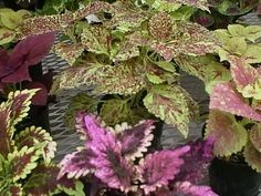 Painted Nettle Coleus Plants on a Nursery Bench