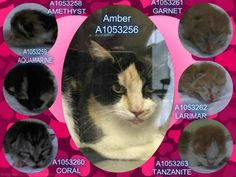 AMBER - A1053256 & KITTENS GRP #K15-034188 - - Brooklyn  *** TO BE DESTROYED 10/08/15 *** AMBER IS A STUNNING LOOKING MOM WITH A HANDSOME GROUP OF TINY KITS!! Sadly, AMBER is on the list tonight and her kittens will be motherless tomorrow if no one steps up to FOSTER her!! IF YOU CAN FOSTER AMBER AND HER BABIES PLEASE CONTACT A NEW HOPE RESCUE TONIGHT….The babies are NOT listed but a rescue will want to pull the whole family to keep them together. PLEASE REMEMBER that