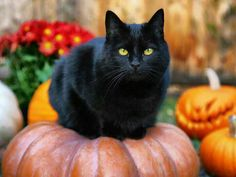 No feline is more maligned than the black cat. The black cat along with pumpkins, bats and witches and spiders … yes and spiders …… I Love Cats, Crazy Cats, Cool Cats, Chat Halloween, Halloween Pumpkins, Halloween Masks, Image Chat, Types Of Cats, White Cats