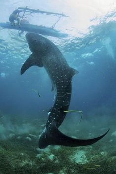 Whale sharks feeding from the hands of fishermen in the Philippines - Telegraph