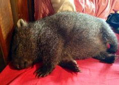 Sleepy Mabel Cute Wombat, Cute Koala Bear, Cute Baby Animals, Nature Animals, Animals And Pets, Beautiful Cats, Animals Beautiful, Cute Australian Animals, Australia Animals