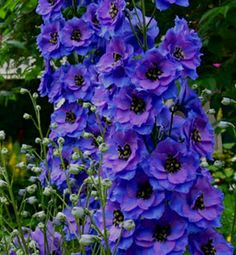 I've had delphinium before but they weren't this good. I will try again somday