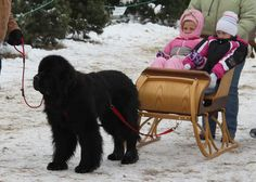 If I had a Newfoundland dog I would use it to pull a cart. Not always children, shopping etc. I think dogs are at their best when they are doing what they were bred to do.