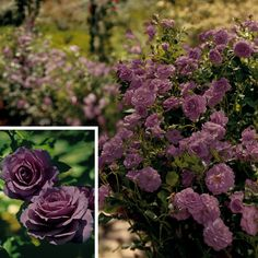 'Purple Perfection' hedge rose.