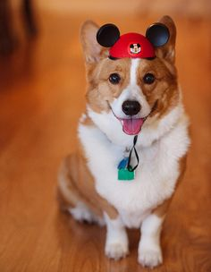 """Visit our website for additional info on """"corgi pups"""". It is a superb place to learn more. Cute Puppies, Cute Dogs, Dogs And Puppies, Doggies, Funny Dogs, Charles Darwin, Corgi Dog, Dog Cat, I Love Dogs"""
