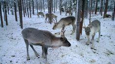 #levi2015 Lapland Finland, Animals, Animaux, Animales, Animal, Dieren