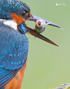 """""""After 14 hours in a hide I was rewarded with this beauty"""" What a photo! #Kingfisher"""