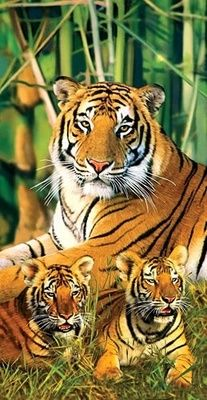 Amazing wildlife - Tiger and cubs photo Beautiful animals Animals And Pets, Baby Animals, Cute Animals, Wild Animals, Beautiful Cats, Animals Beautiful, Beautiful Family, Big Cats, Cats And Kittens