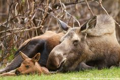 Cute and Happy Calf Moose with his mama !!