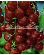 ''Black Cherry