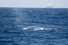 How We're Saving Blue Whales One Ship at a Time