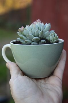 how cute! teacup plants! also cute for a herb garden in the kitchen