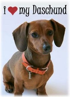 I love my dachshund :)